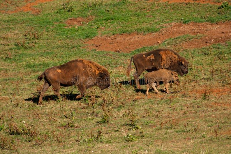 Bisonte novo cercado pelos adultos que andam através do campo imagem de stock
