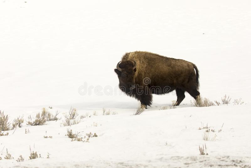 Bisonte o bufalo solo nel campo nevoso nella parità del cittadino di Yellowstone immagine stock