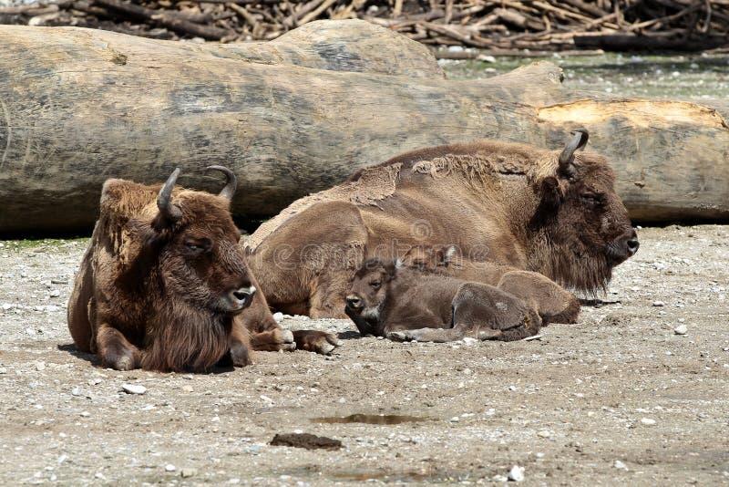 Bisonte o bisonte europeo, bonasus del bisonte in uno zoo tedesco fotografia stock