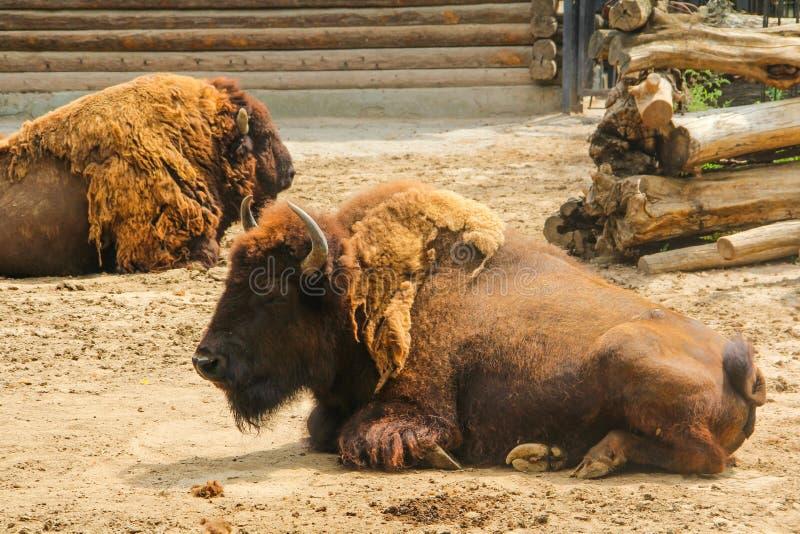 Bisonte, o lat europeo del bisonte El bonasus del bisonte es una especie de animales fotos de archivo libres de regalías