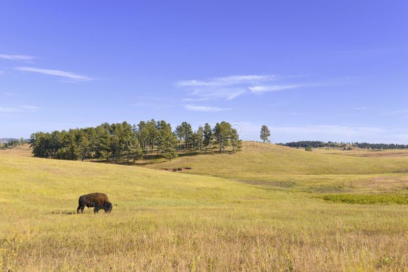Bisonte in pascoli, parco nazionale della caverna del vento, Sud Dakota fotografia stock