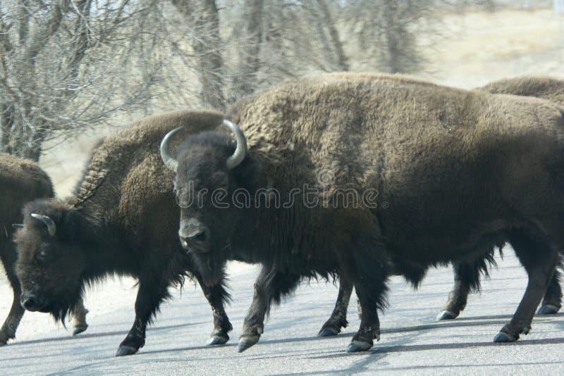 Bisonte que cruza el camino foto de archivo