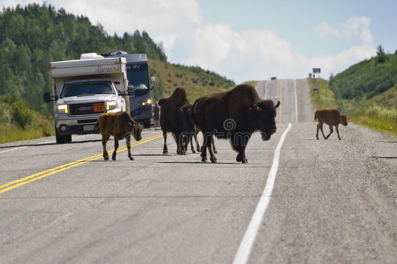Bisonte que cruza a estrada de Alaska fotos de stock