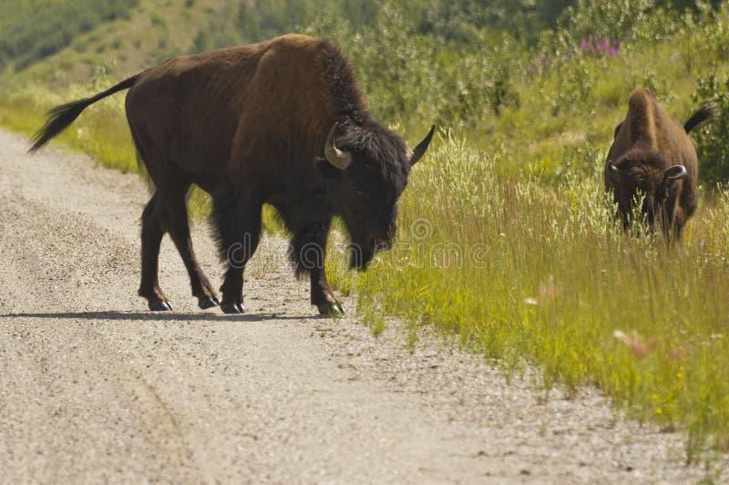 Bisonte que pasta ao longo da estrada de Alaska foto de stock royalty free