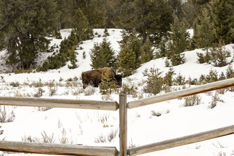 Bisonte que pasta en campo cercado en el parque nacional de Yellowstone, Wyom fotografía de archivo