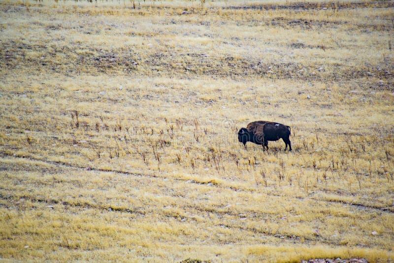 Bisonte que pasta en la isla del antílope imagenes de archivo