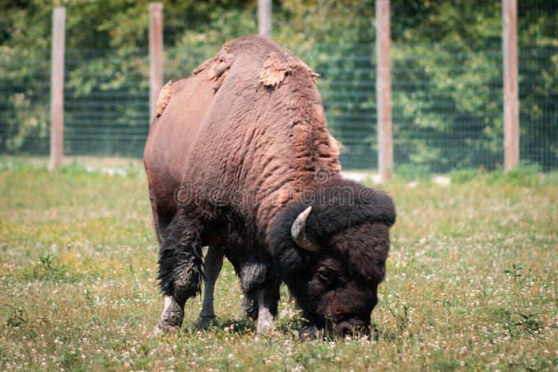 Bisonte que pasta en un recinto en el fuerte Wayne Indiana fotos de archivo