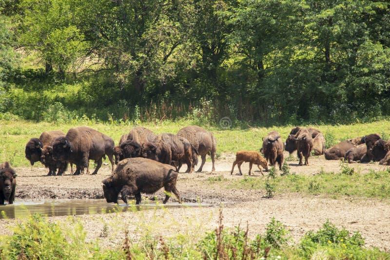 Bisonte que vaga por en la gama abierta imagenes de archivo