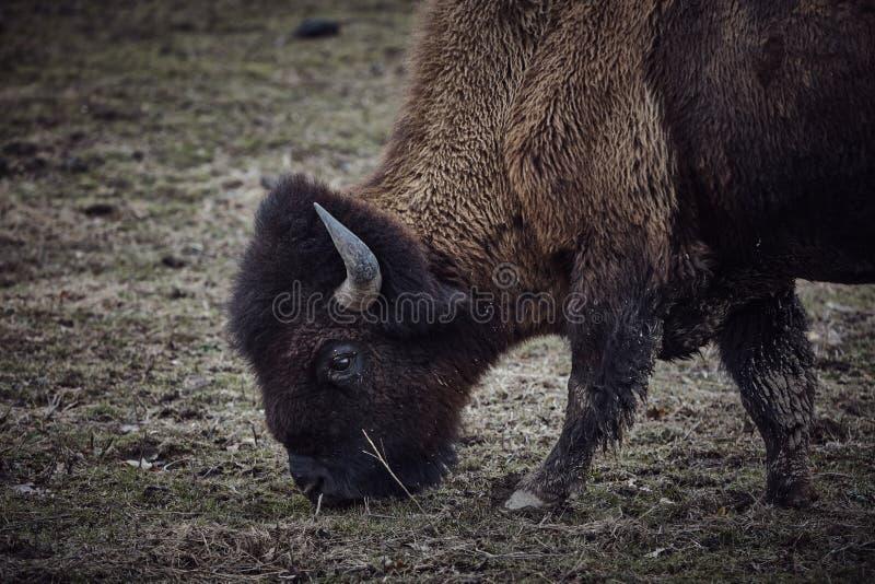 Bisonte salvaje que pasta la hierba fotos de archivo
