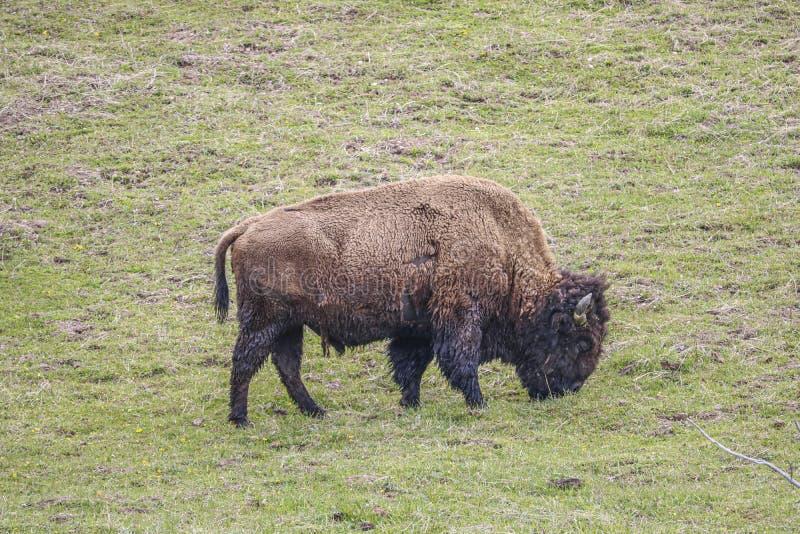 Bisonte selvagem que pasta em um campo imagens de stock