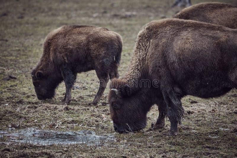 Bisonte selvagem que pasta a grama imagens de stock