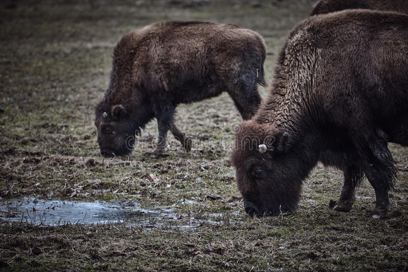 Bisonte selvaggio che pasce erba fotografie stock