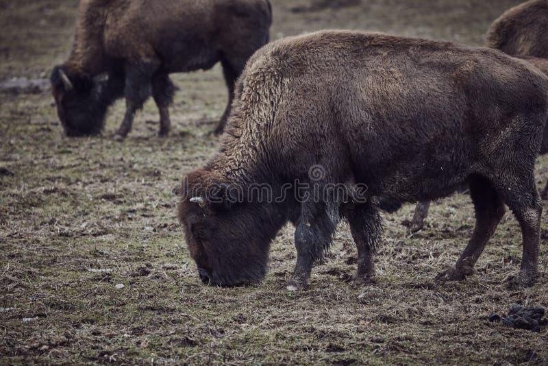 Bisonte selvaggio che pasce erba fotografie stock libere da diritti
