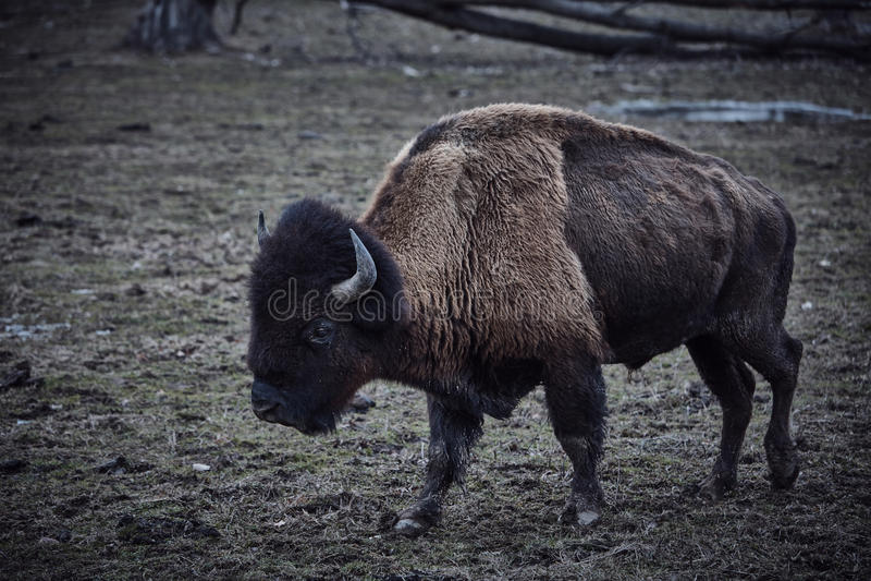Bisonte selvaggio che pasce erba fotografia stock
