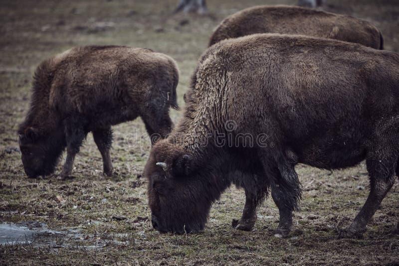 Bisonte selvaggio che pasce erba immagini stock