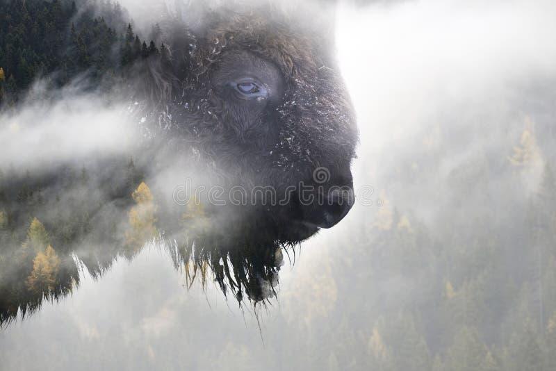 Bisonte selvaggio immagine stock