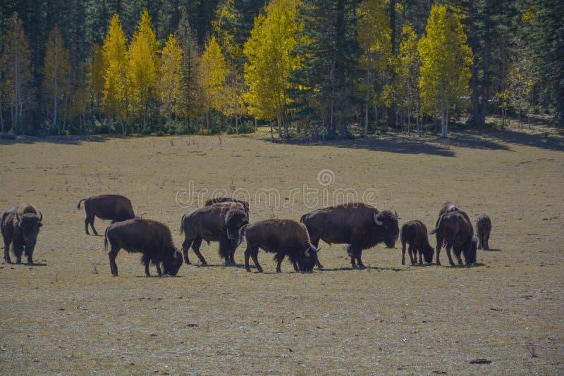 Bisonte selvaggio nel parco nazionale Arizona di Grand Canyon fotografia stock
