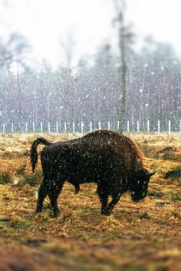 Bisonte sul campo fotografia stock