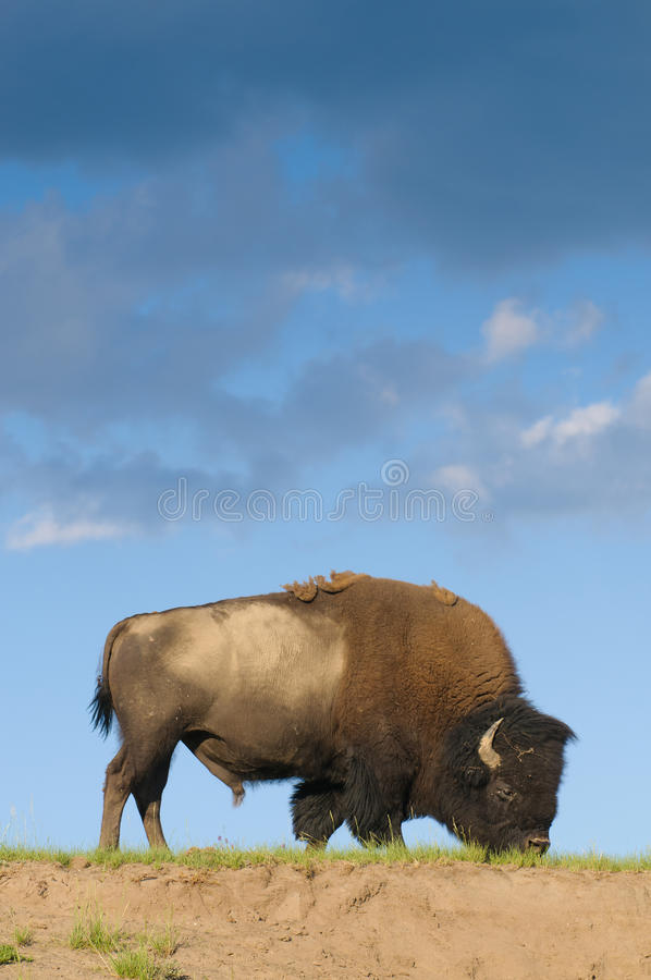 Download Bisonte sulla gamma fotografia stock. Immagine di yellowstone - 30825820