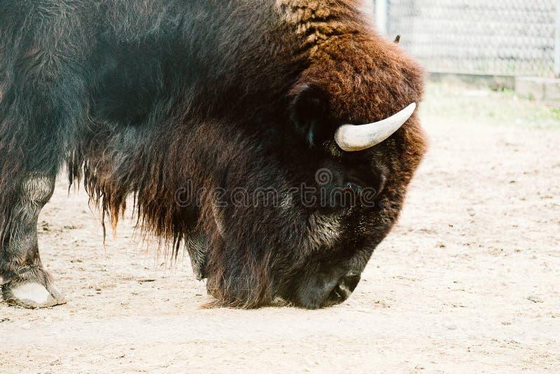 Bisonte in uno zoo immagine stock libera da diritti