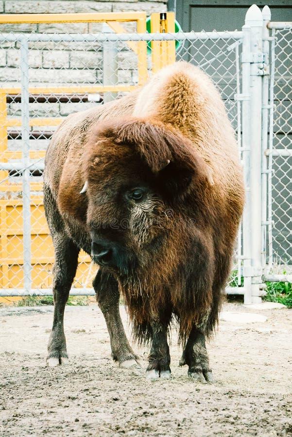Bisonte in uno zoo immagini stock libere da diritti
