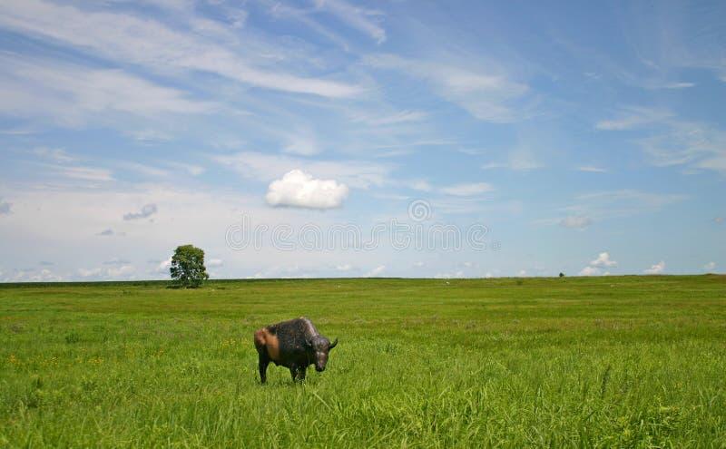 Bisonte y árbol solitarios en la pradera imágenes de archivo libres de regalías