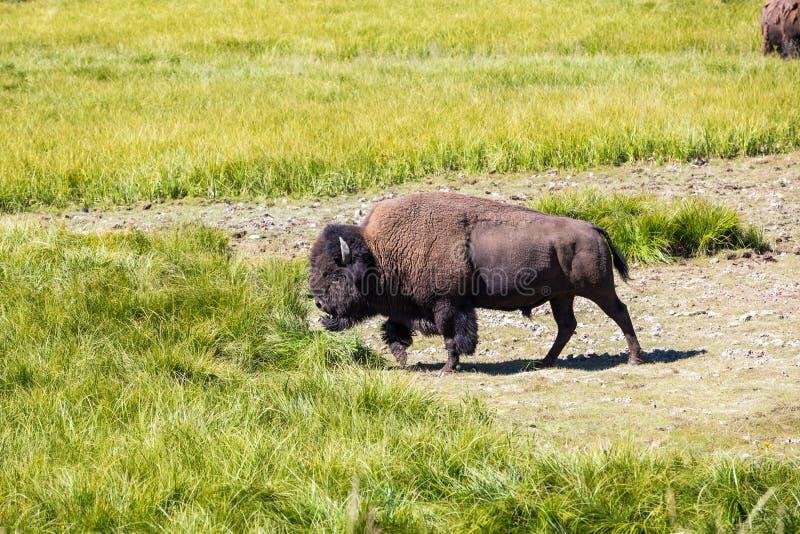 Bisontes no parque nacional de Yellowstone, Wyoming, EUA imagem de stock royalty free