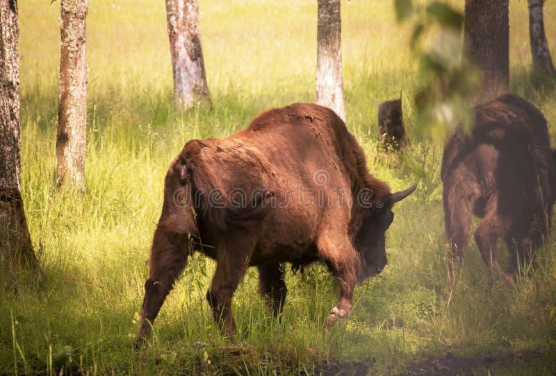 Bisontes que vão à floresta imagens de stock royalty free