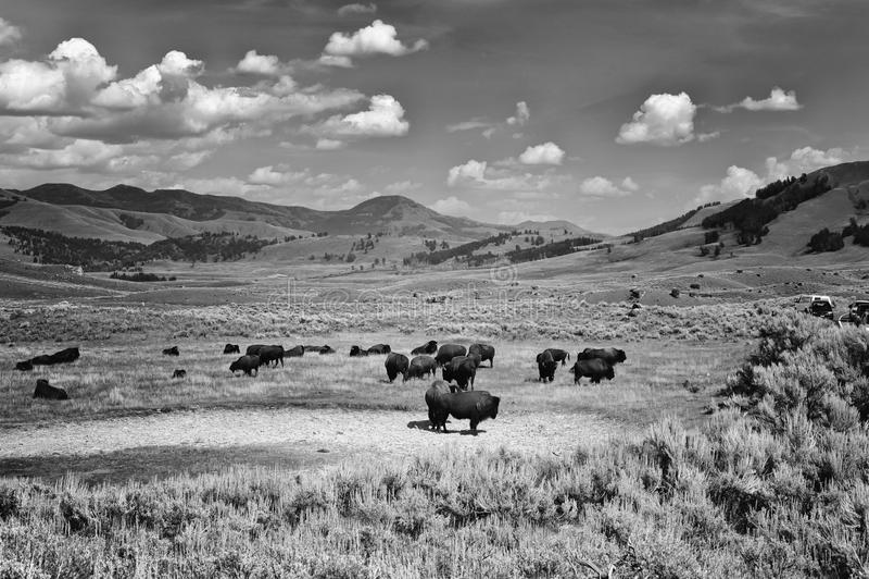 Bisonti al parco nazionale di Yellowstone fotografia stock libera da diritti