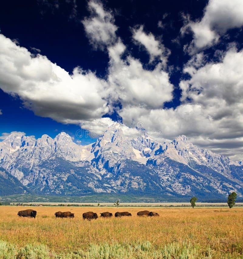 Bisonti nella grande sosta nazionale di Teton immagine stock libera da diritti