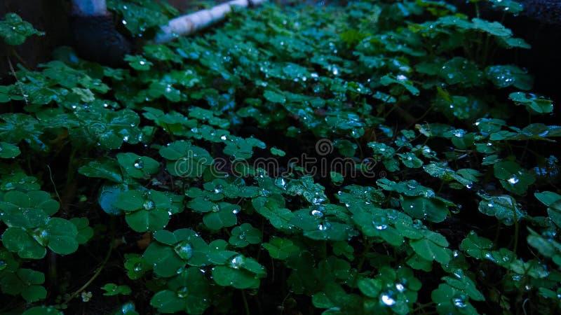Biswanath Chariali, Assam - 26. Februar 2018: Wassertropfen auf den Blättern der Klee sehen aus wie Perlen stockfoto