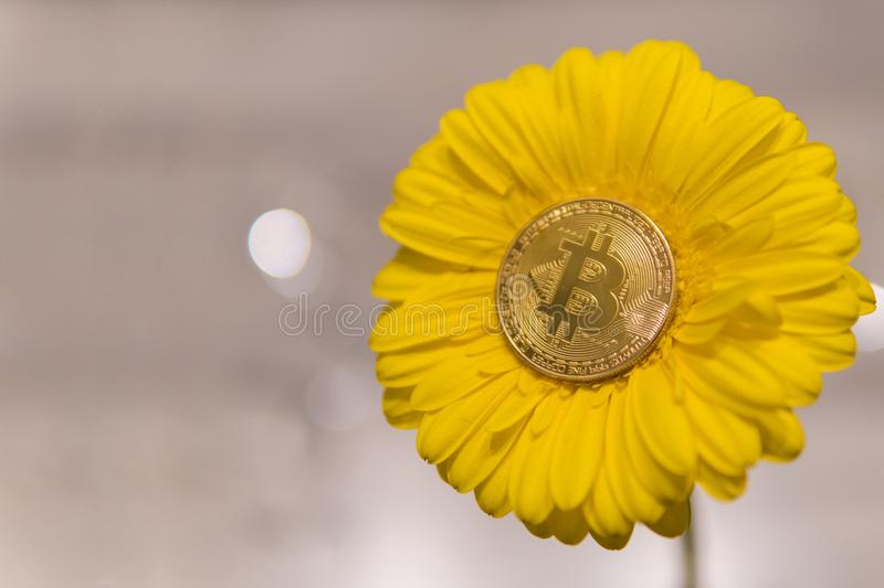 Bitcoin on yellow gerbera flower with copyspace royalty free stock image