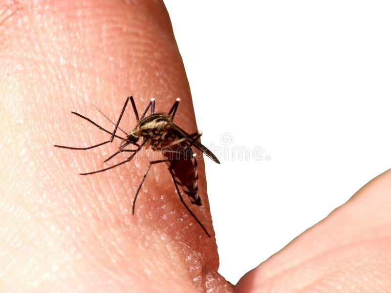 Bite mosquito. Sucking up from hand blood mosquito stock photography