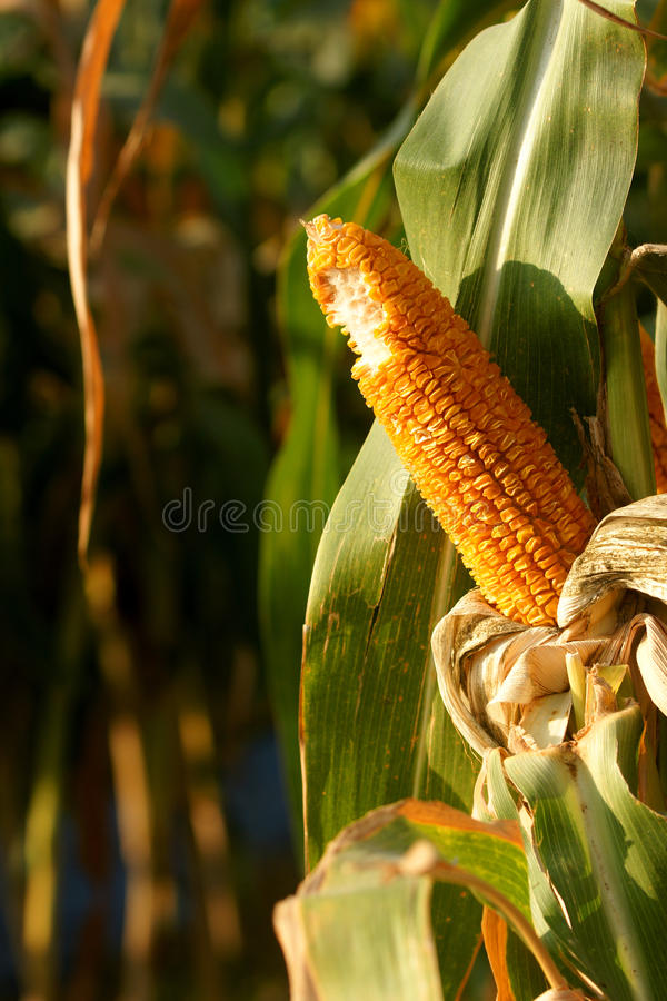 Download Bite off the corn stock image. Image of product, grow - 12026573