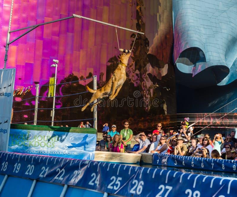 Bite of Seattle Dock Dog catches target. Bite of Seattle Dock Dogs jumping competition. Dog catches target royalty free stock photos