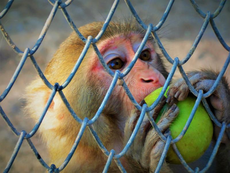 Biting off more than it can chew. Rhesus Macaque taking a bite from an apple. Taken at Ayub Park Rawalpindi royalty free stock photography