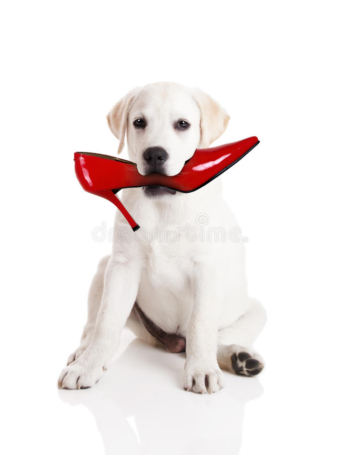 Biting the shoe royalty free stock photos
