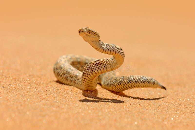 Bitis peringueyi,Péringuey的加法器,从纳米比亚沙子沙漠的毒物蛇 小蛇蝎在自然栖所,纳米布Naukluft同水准 图库摄影