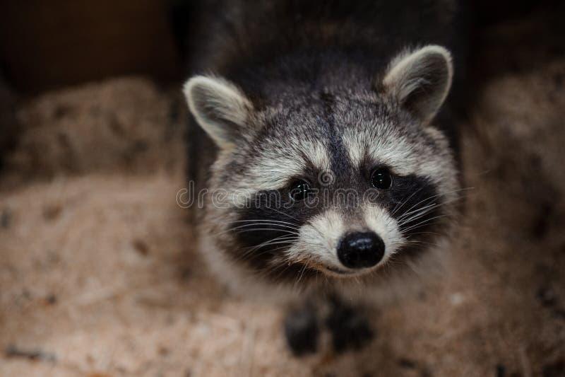 Bitten des Blickes eines Waschbären stockfoto