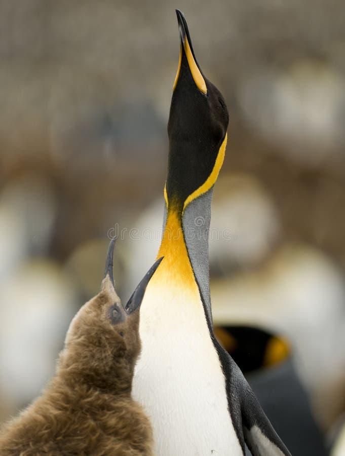 Bitten um Nahrung - König Penguin lizenzfreie stockbilder