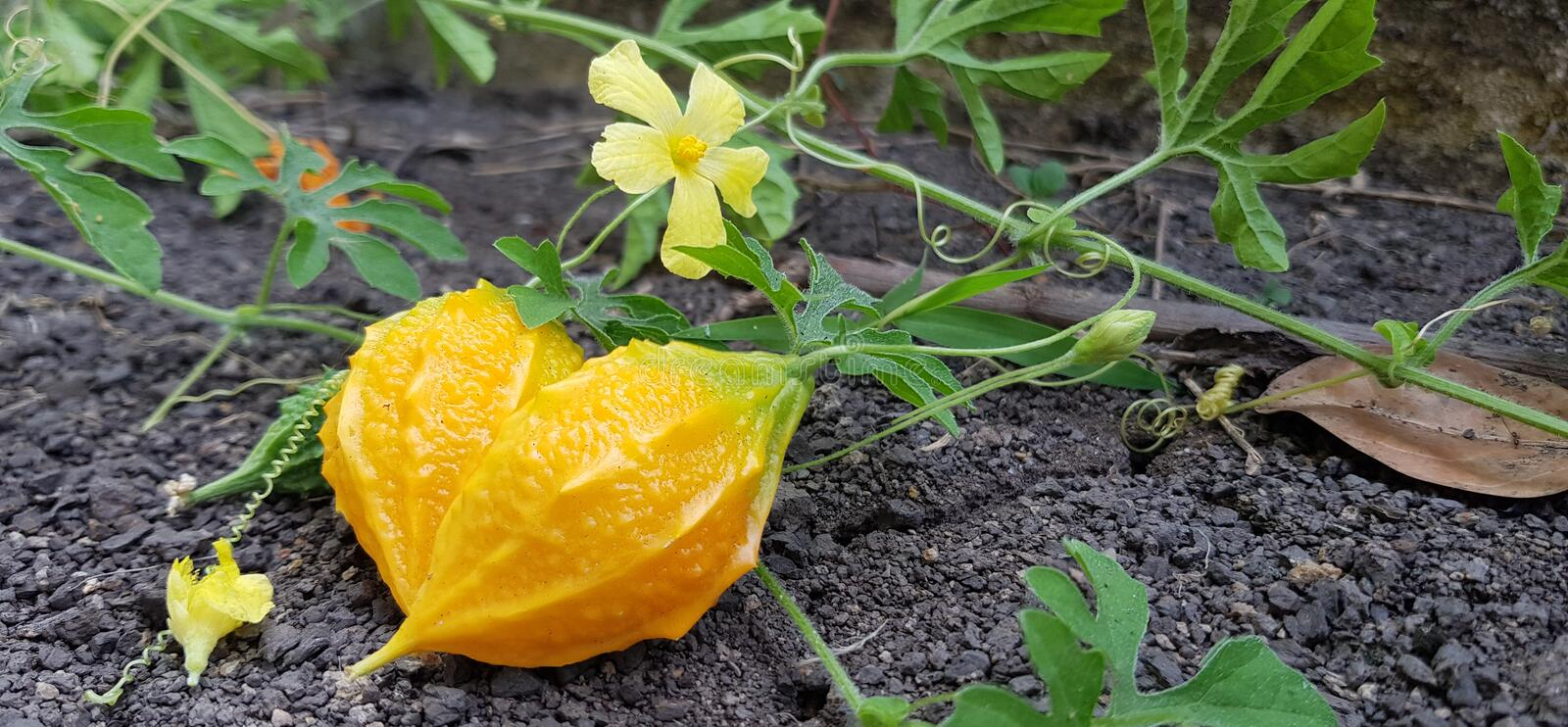 Bitter gourd grows on the ground.Bitter gourd and blooming flowers,Fresh bitter gourd for cooking stock photography