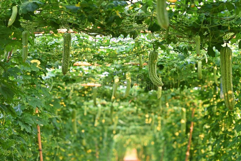 Bitter gourd, vine fruiting vegetable. Cultivation, Thailand royalty free stock photography