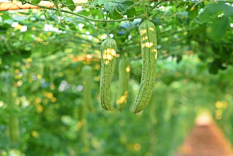 Bitter gourd, vine fruiting vegetable. Cultivation, Thailand royalty free stock photo
