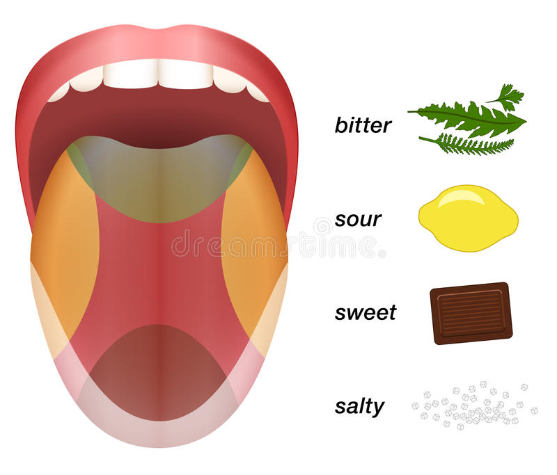 Bitter Sour Sweet Salty Tongue Taste Map stock illustration