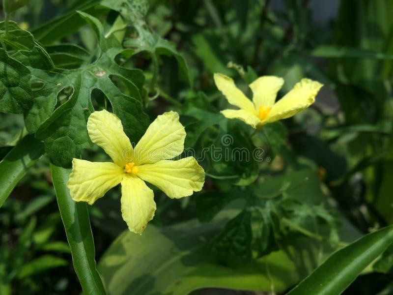 Bittere Kürbis-Blume lizenzfreies stockfoto