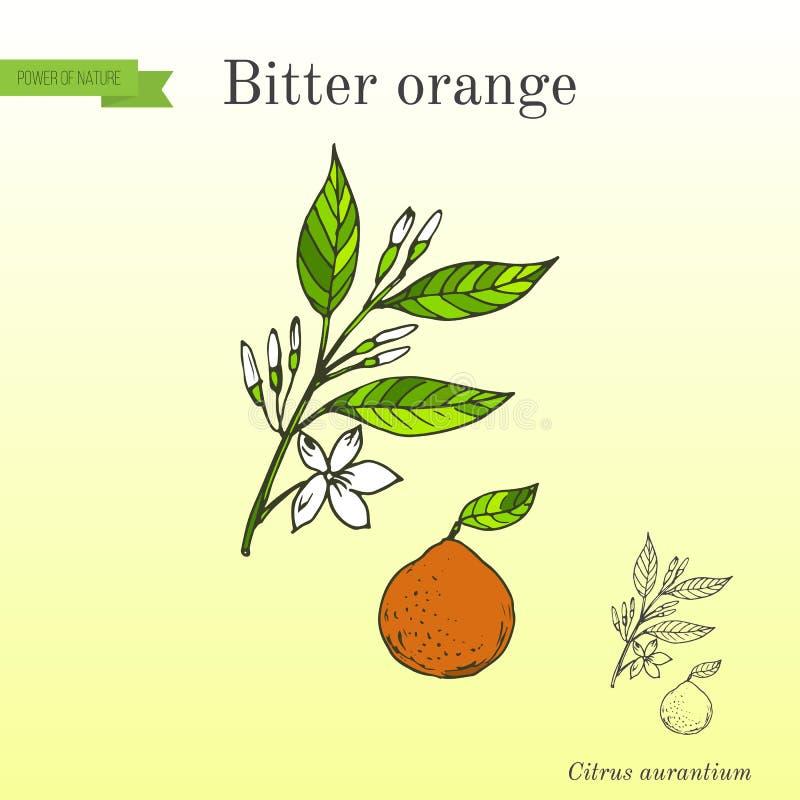 Bittere sinaasappel, de sinaasappel van Sevilla, zure sinaasappel, bigarade sinaasappel, of marmeladesinaasappel, takje met bloem stock illustratie
