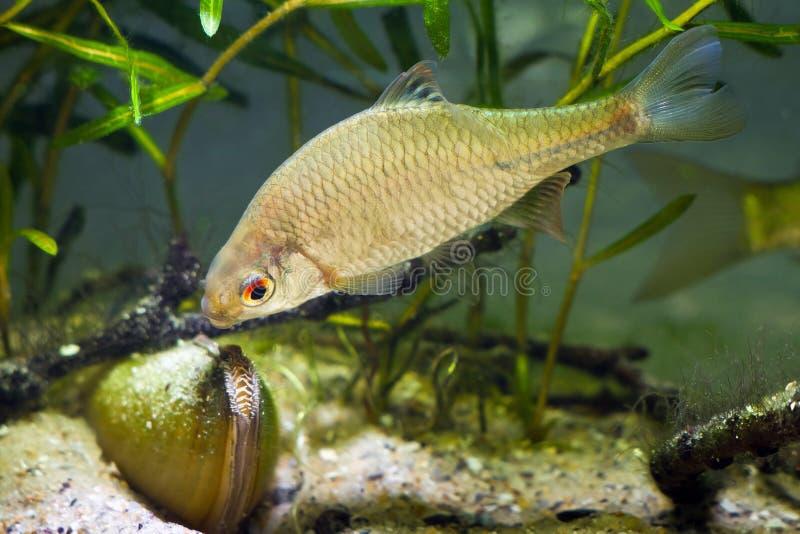 Bitterling europeo, rhodeus amarus, bello pesce maschio adulto dimostra deporree uova il comportamento vicino ad un mollusco biva fotografia stock