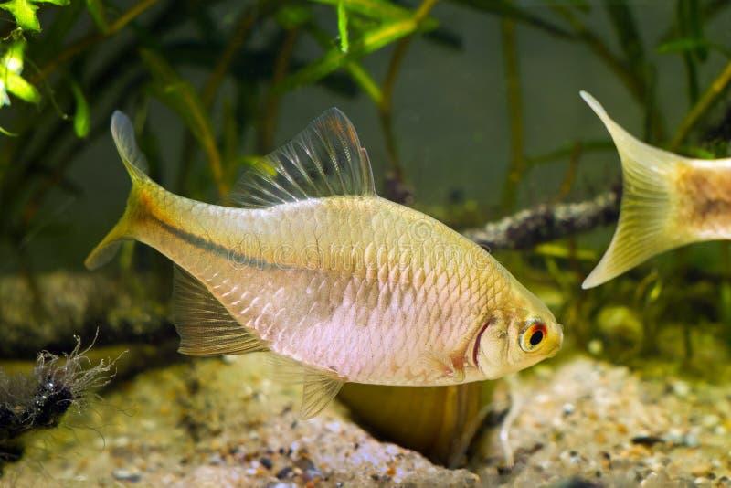 Bitterling europeo, rhodeus amarus, bello pesce maschio adulto ornamentale dimostra deporree uova il comportamento vicino ad un m immagini stock