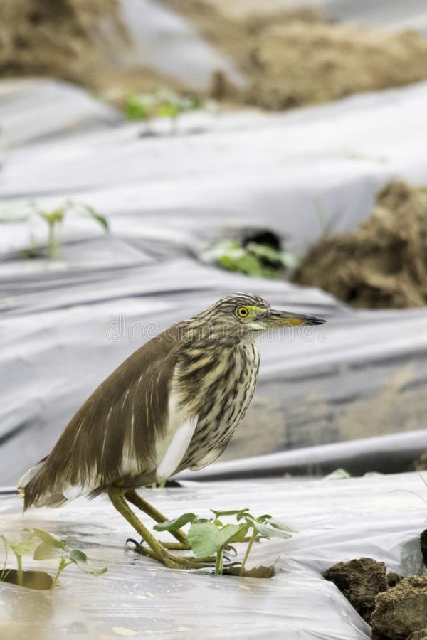 Bittern in sane china, standing in field, closeup side view day good light. Bittern standing in a farmers field on the plastic wrap with a small plant at its royalty free stock images
