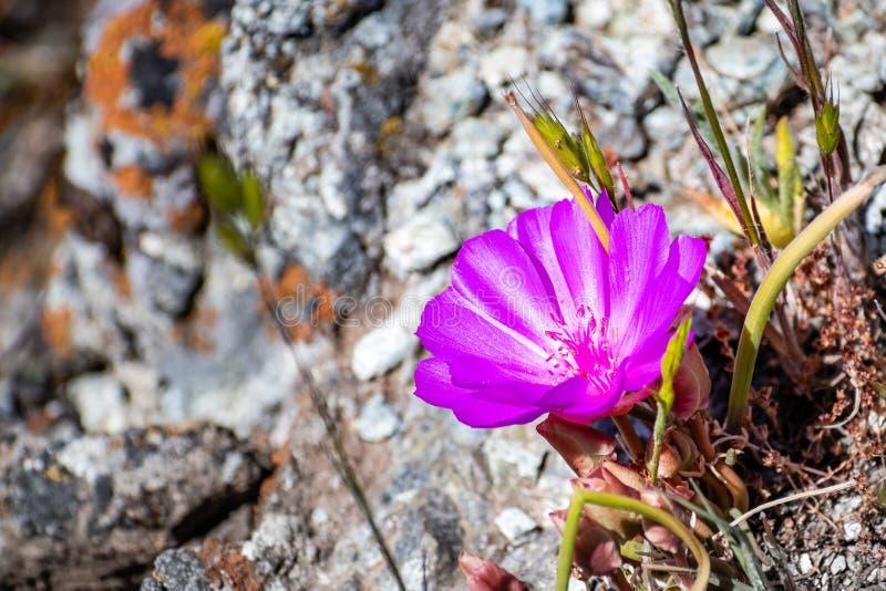Bitterroot Lewisia rediviva, die Staatsblume von Montana; in Santa Cruz-Bergen im Frühjahr blühen, Süden San Francisco Bay lizenzfreie stockfotografie
